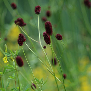 Sanguisorba%20officinalis%20Sanguisorba-off-BEvers-DSC_3602.jpg